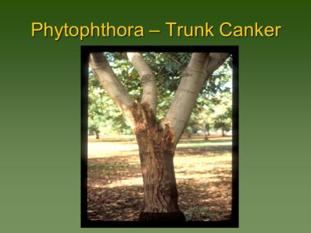 Phytophthora – Trunk Canker