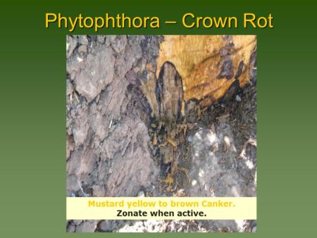 Phytophthora – Crown Rot