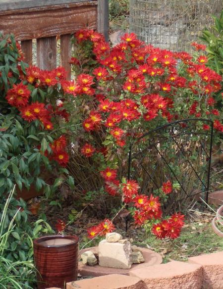 Fall blooming chrysanthemums