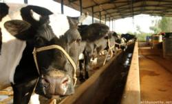 cow-staring-dairy-farm-karnataka-500x303