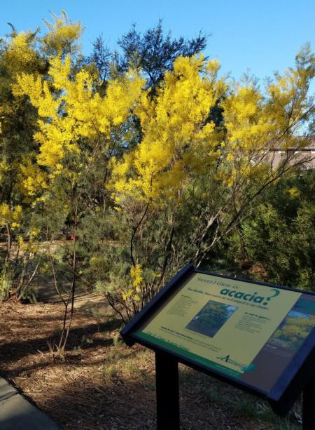 Snowy River Wattle (Acacia boormanii)